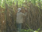 Cuba cutting sugar cane